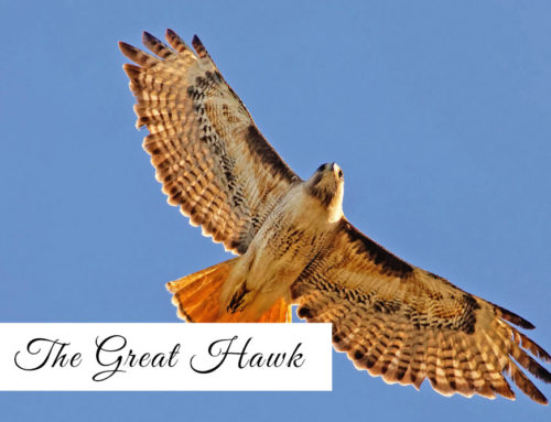 Calling to the Great Hawk